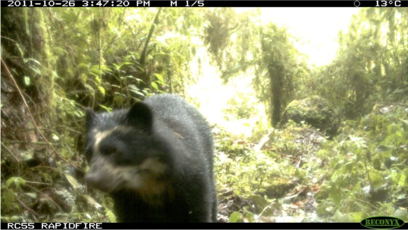 A spectacled bear caught by the trap camera
